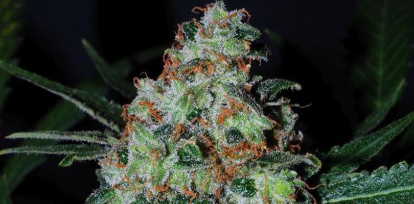 Black Jack Seeds Strain Description