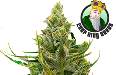 Blackberry Kush Feminized Seeds Crop King Seeds