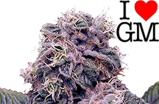 Blackberry Kush Feminized Seeds ILGM