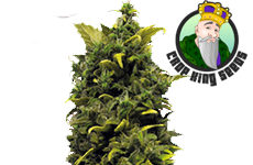 Blue Cheese Feminized Seeds Crop King Seeds