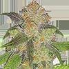 Blue Cinderella 99 Fast Flowering Cannabis Seeds