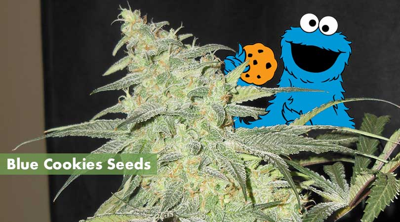 Blue Cookies Seeds Cover Photo
