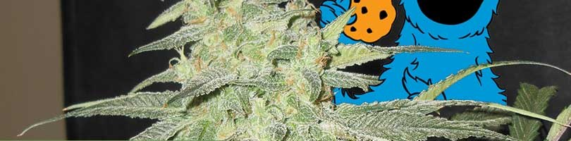 Blue Cookies Seeds Featured Image