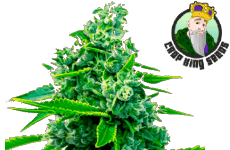 Crop King Seeds Blue Dream Seeds