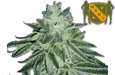 MSNL Blue Dream Seeds