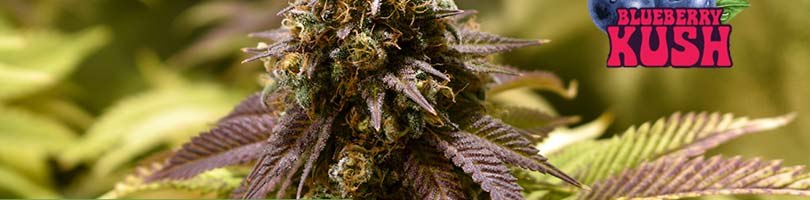 Blueberry Kush Seeds Featured Image