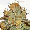 Bruce Banner Auto Cannabis Seeds