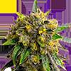 Bubba Kush Autoflower Cannabis Seeds