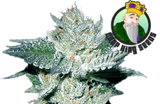 Bubba Kush Feminized Seeds Crop King Seeds