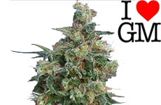 Bubba Kush Feminized Seeds ILGM