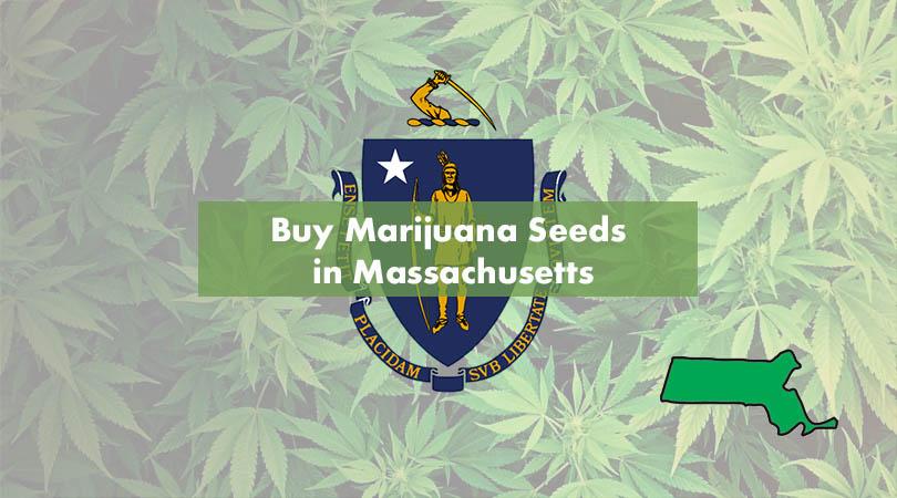 Buy Marijuana Seeds in Massachusetts Cover Photo