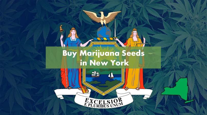 Buy Marijuana Seeds in New York Cover Photo