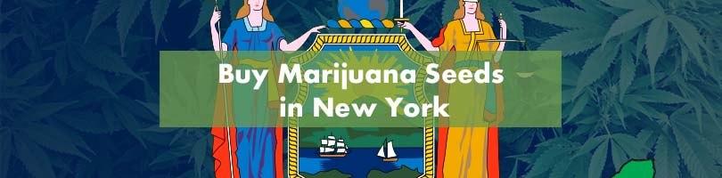 Buy Marijuana Seeds in New York Featured Image