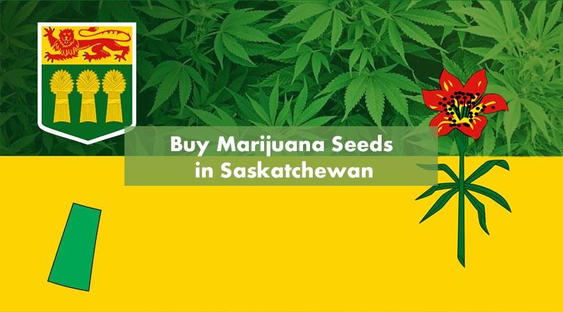 Buy Marijuana Seeds in Saskatchewan Cover Photo