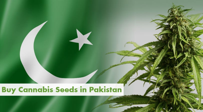 Buying Cannabis Seeds in Pakistan