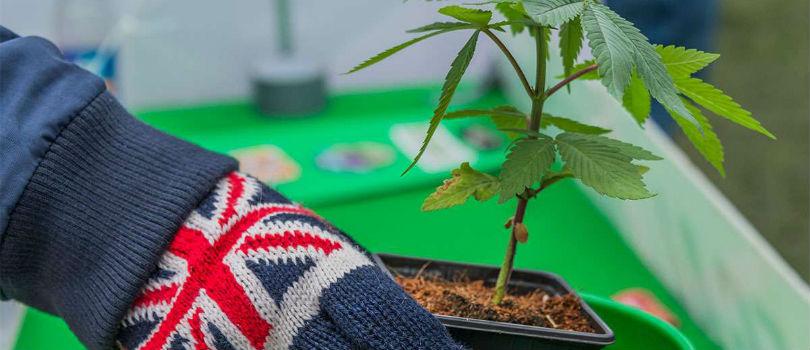 Buy Cannabis Seeds in United Kingdom