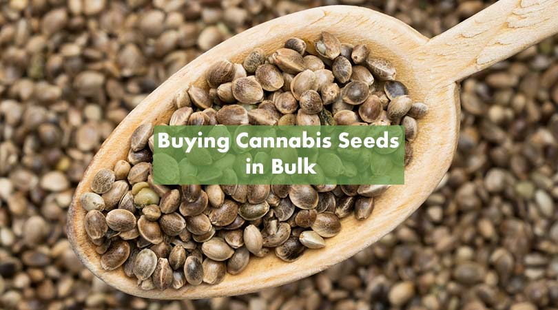 Buying Cannabis Seeds In Bulk Cover Photo