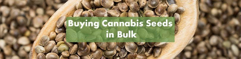 Buying Cannabis Seeds In Bulk Featured Image