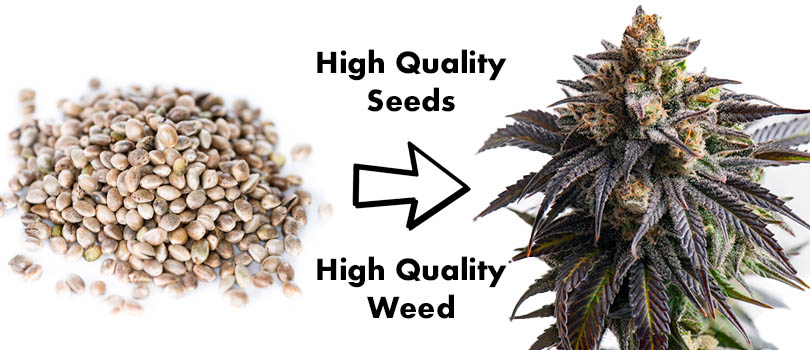 Buying Cannabis Seeds In Bulk High Quality Seeds