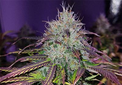 CBD Blueberry Seeds