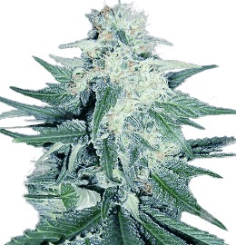 Seedsman Review 2019 | 10Buds Cannabis Growing Guide