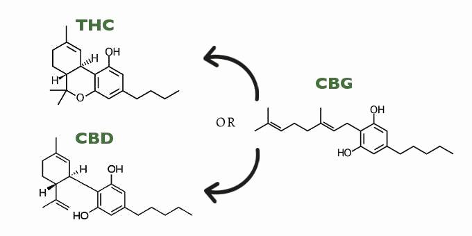 What is Cannabigerol? The Role of CBG in Cannabis