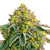 CKS AK-47 Feminized Cannabis Seeds