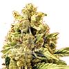 CKS Acapulco Gold Feminized Cannabis Seeds