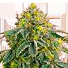 CKS Afghan Feminized Cannabis Seeds