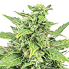 CKS Agent Orange Feminized Cannabis Seeds