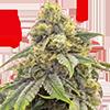 CKS Alien OG Feminized Cannabis Seeds