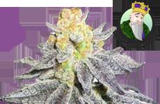 CKS Animal Cookies Autoflower Seeds