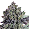 CKS Animal Mint Auto Cannabis Seeds