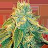 CKS Birthday Cake Feminized Cannabis Seeds