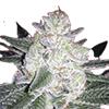 CKS Black Gorilla Feminized Seeds