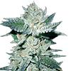 CKS Bubba Kush Feminized Cannabis Seeds