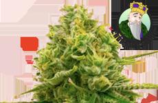 CKS Bubble Gum Feminized Seeds