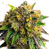 CKS Cement Shoes Feminized Cannabis Seeds