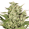 CKS Cheese Feminized Cannabis Seeds