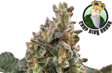 CKS Clementine Feminized Seeds