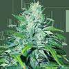 CKS Dwarf Low Flyer Feminized Cannabis Seeds