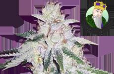 CKS Ghost OG Autoflower Seeds