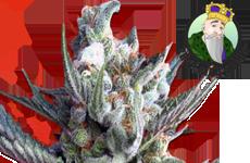 CKS Ghost Train Haze Feminized Seeds