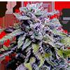 CKS Granddaddy Purple Feminized Cannabis Seeds