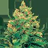 CKS Hash Plant Feminized Cannabis Seeds