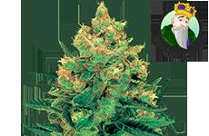 CKS Hash Plant Feminized Seeds