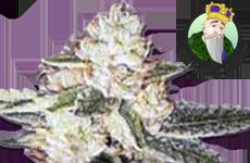 CKS King Louis Autoflower Seeds