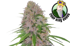 CKS Mendo Breath Autoflower Seeds