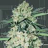 CKS NYC Diesel Autoflower Cannabis Seeds