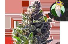 CKS Pineapple Express Feminized Seeds